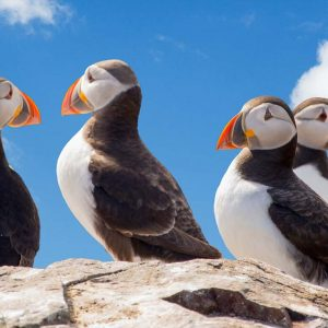Arctic - Overwater - puffins-2819126