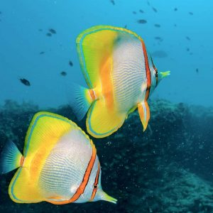 © Australia Tourism - Margined Butterfly fish, Ningaloo Marine Park