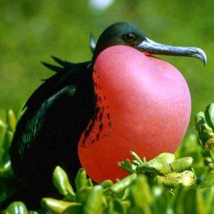 © Pixabay - Galapagos Frigate bird