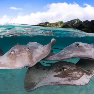 Sting rays in the lagoon of Moorea - ©-Greg-Lecoeur