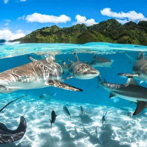 Black tip sharks & ray in the lagoon of Moorea - ©-Greg-Lecoeur