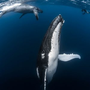 Humpback Whales of French Polynesia - ©-Greg-Lecoeur